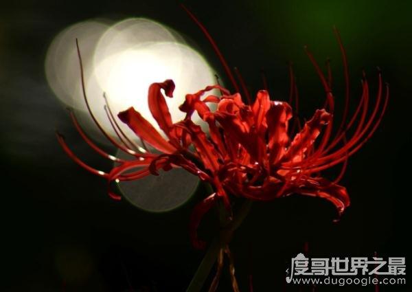 彼岸花的传说与花语,曼珠沙华的凄美爱恋(相思/死亡)