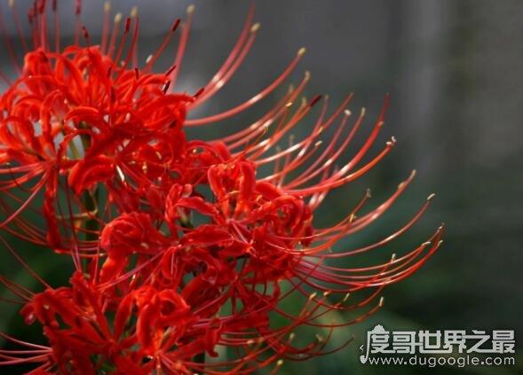 彼岸花的花语是什么,中国的花语是优美纯洁(各国花语都不同)