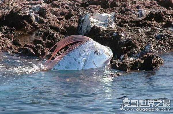 皇带鱼的恐怖传说,它的出现总是伴随着地震与海啸