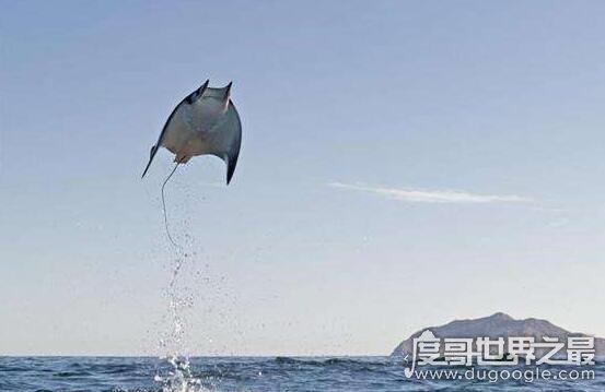 蝠鲼是喜欢恶作剧的魔鬼鱼,常常搞怪故意吓唬人(拖着船在海上跑)