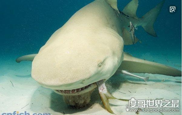 生性凶残的柠檬鲨见人就咬,却被当做宠物饲养(一般人养不起)
