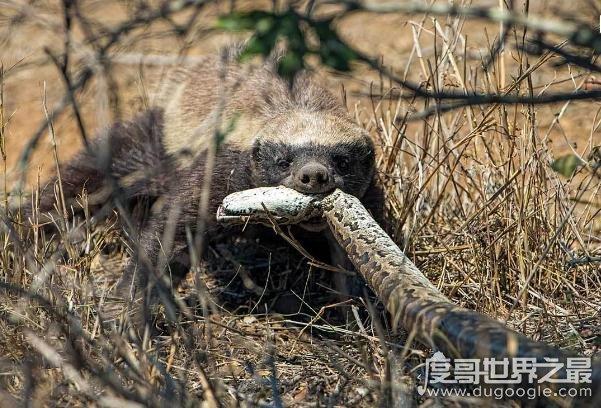 无所畏惧的非洲平头哥蜜獾,看淡生死不服就干(战斗力强)