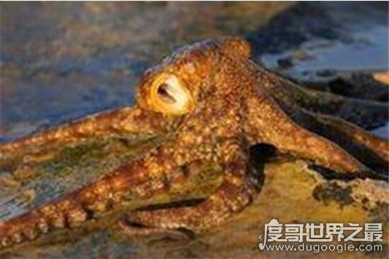 不需要水也能生存的沼泽章鱼,是一亿年后进化的新物种