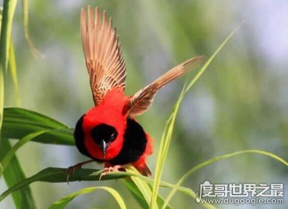 非洲奇特的寡妇鸟,一夫多妻制导致寡妇太多而出名