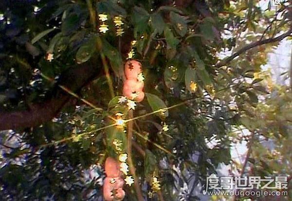 西游记人参果树下藏着什么,每个人参果体内都有一个生灵(图片)