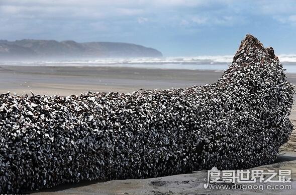 鹅颈藤壶是欧洲人为之疯狂的美食,被称为来自地狱的海鲜