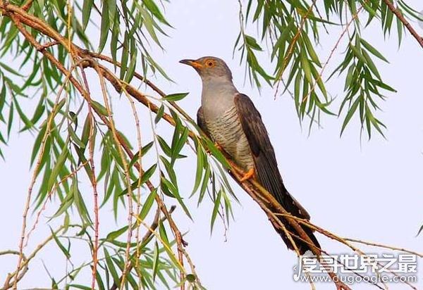 杜鹃鸟是怎么繁殖后代的,在其他鸟的巢里产卵还让帮其养大(图片)