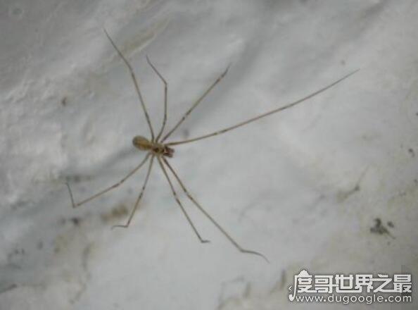 """""""无毒""""有益的幽灵蛛,能帮你消灭室内有害昆虫(甚至捕蛇)"""