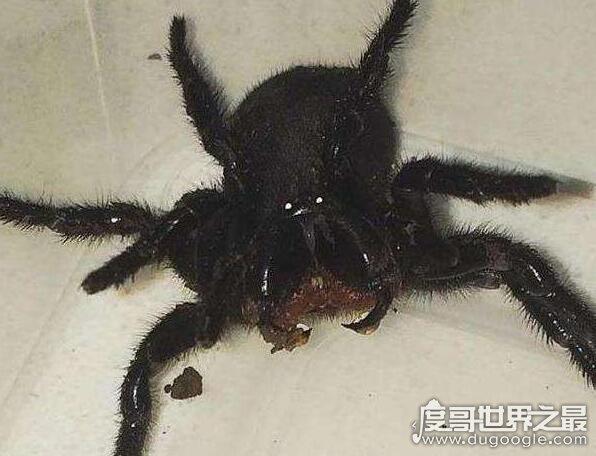 漏斗形蜘蛛是世界上最致命的蜘蛛,被它咬伤15分钟内就会死亡