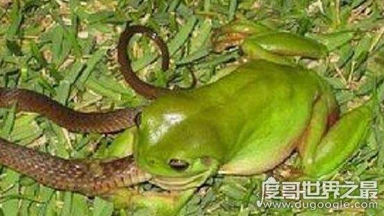 最爱吃毒蛇的食蛇蛙,不超过3斤的它可以捕食160斤以内的毒蛇