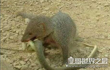 食蛇鼠是最凶猛的啮齿类动物,体型有半米的它最爱吃蛇
