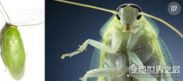 世界上最干净的蟑螂,古巴蟑螂(全身呈绿色只吃素)