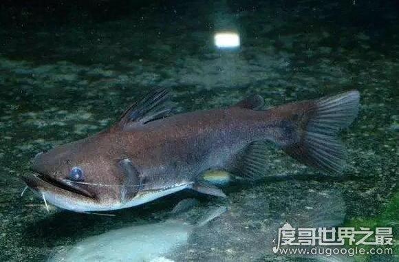 超级吃货大嘴鲸,它能吞下与自己体型相当的鱼(食量惊人)