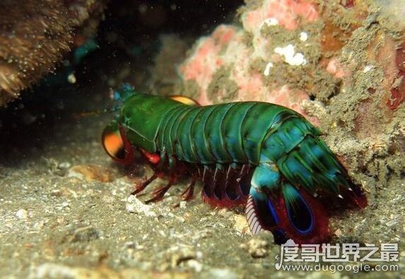 绿虾蛄就是雀尾螳螂虾,杀伤力巨大不能用手直接碰