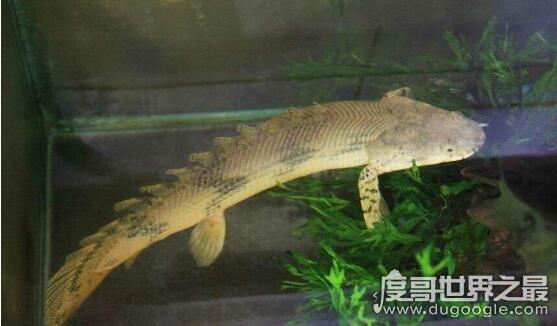 九角龙鱼又名金恐龙,性格非常温和能与别的鱼混养