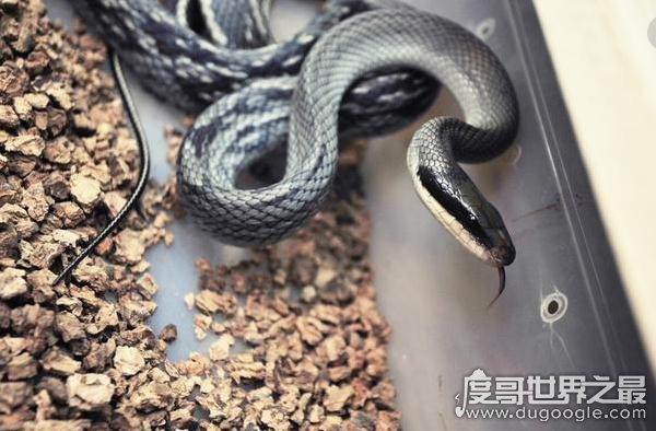 蛇进家门不能打的真相竟是这样,蛇有灵性(蛇进家门会带来财运)