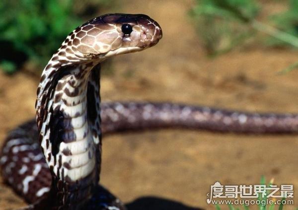 世界上体型最大的毒蛇,过山峰(眼镜王蛇)专以各种蛇类为食