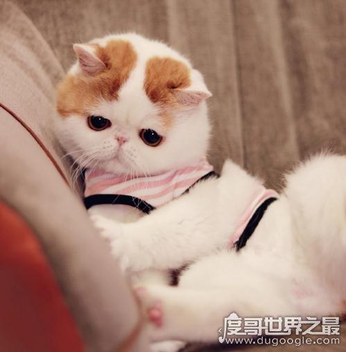 """呆萌猫""""红小胖snoopy""""走红,现实版加菲猫(网友直呼萌化了)"""