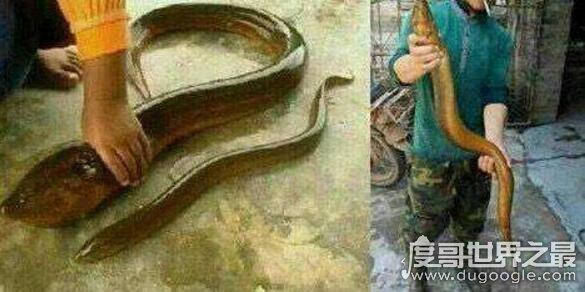 世界上最大的巨型黄鳝,长达1.5米/重36斤(被中国农民捕获)