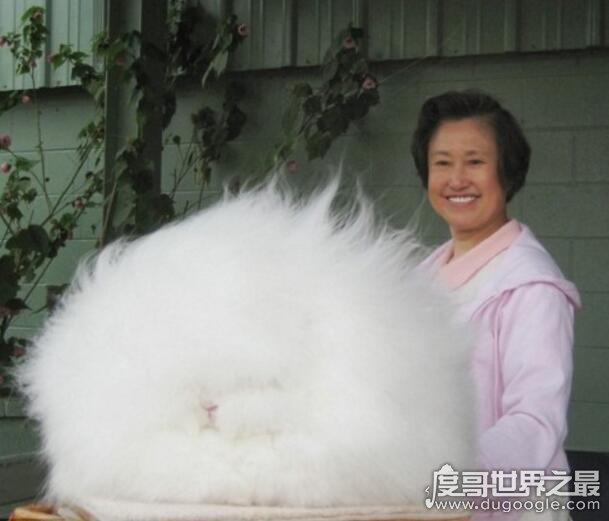 毛最长的兔子,巨型安哥拉兔毛长37cm(关于兔子的世界之最)