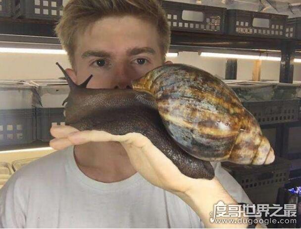 世界上最大的蜗牛,巨型蜗牛长达20cm(最小蜗牛仅0.6毫米)