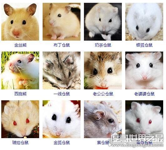 世界上最可爱的老鼠,盘点几种呆萌有趣外形漂亮的小老鼠