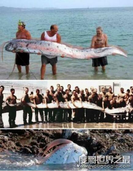 世界上最大的带鱼,巨型皇带鱼(长达15米/重540斤)