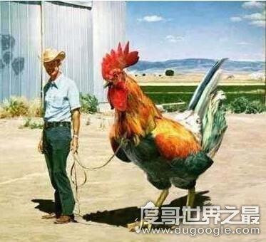 新橙的鸡,美国巨型鸡(高1.2米/最大的比牛还要大)