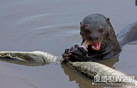 世界上最大的水獭,巨型水獭长2.4米(战斗力超强秒杀鳄鱼)