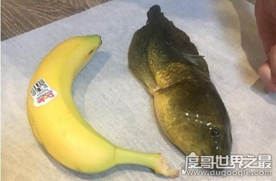世界上最大的蝌蚪,巨型蝌蚪(长20厘米/比人手掌还大)