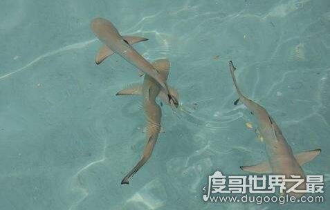 世界上最小的鲨鱼,不到30厘米的硬背侏儒鲨还没有人的手掌大