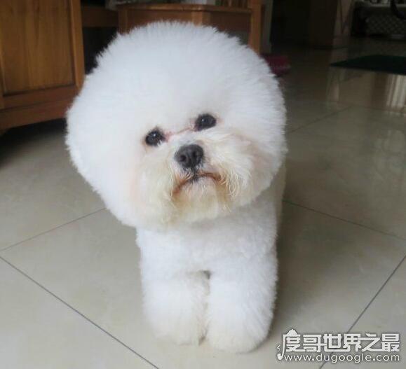 十种体型最小的狗狗排名,最小的狗狗仅拳头大小超级可爱