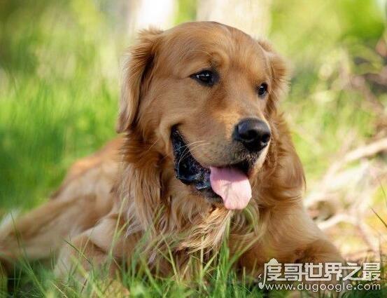 世界三大绝不咬人的狗,这三种狗狗特别的温顺无公害