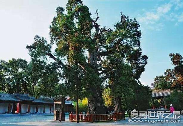 世界上最古老的树盘点,最老的潘多树已经8万年历史