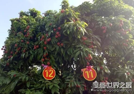 中国最贵的水果,增城挂绿荔枝曾创下了单颗55.5万元的天价