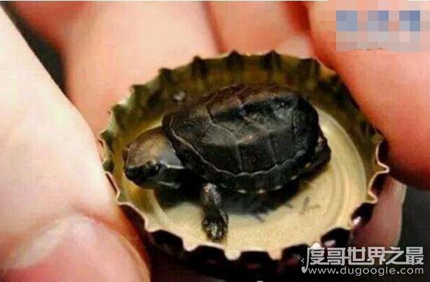 世界上最小的乌龟,麝香龟仅2厘米长(比1毛钱硬币还小)