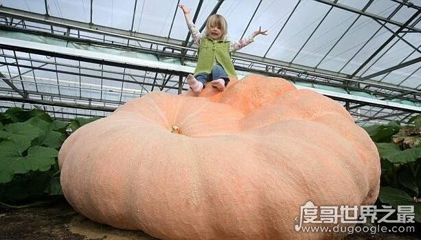 世界上最大的南瓜盘点,最大一个达2000斤(获吉尼斯认证)