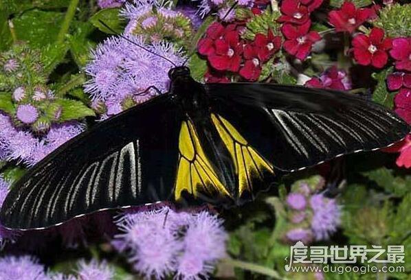 世界上最恐怖的蝴蝶,虎斑纹吃肉蝶曾将一个人吃的只剩骨头