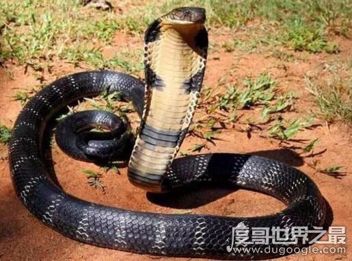 70多斤最大的眼镜王蛇,过山峰是体积最大排毒量最大的毒蛇
