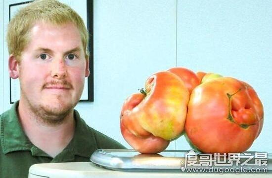 世界上最大的西红柿,重达8斤的超大番茄打破世界纪录