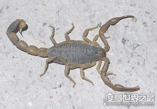 世界第二毒蝎超凶残,被东亚钳蝎蜇伤会痛的让你终生难忘