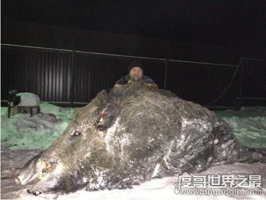 世界上最大的野猪,重1070斤高1.7米长3米(比老虎还要大)