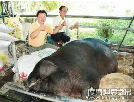世界上最大的猪在中国,辽宁1800斤超级巨猪获吉尼斯认证