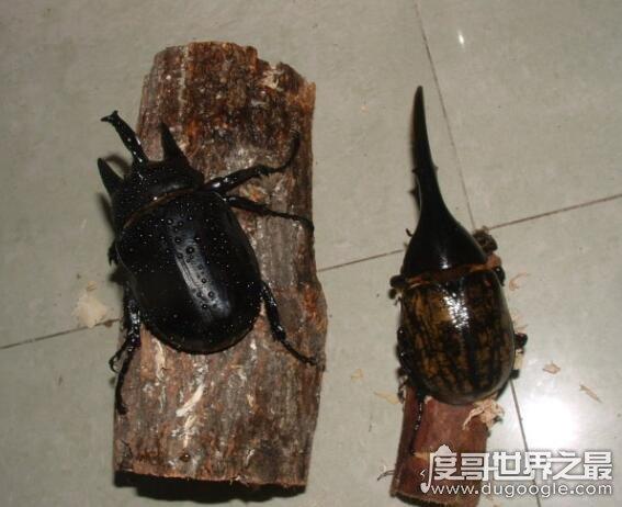 世界上最大的兜虫,亚克提恩大兜虫(可以长到12.7厘米长)