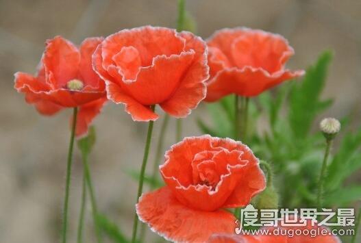 世界上最毒的花,盘点十种长的妖艳娇美却有剧毒的花