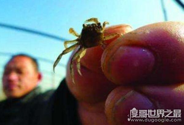 世界上最小的螃蟹,僅1厘米長的豆蟹(只有黃豆大小)