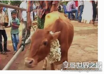 世界上最矮的牛,印度母牛身高仅61.5只能当宠物来养