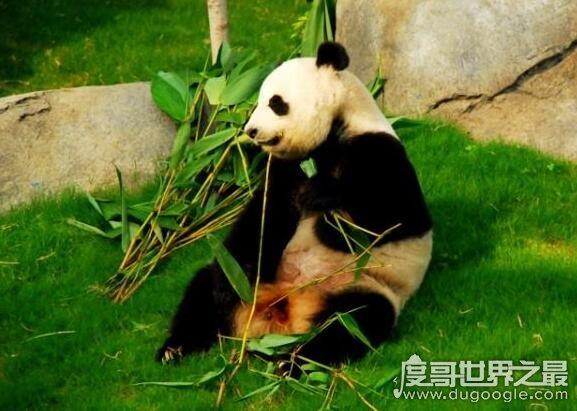 世界上寿命最长的熊猫,熊猫佳佳活了38年相当于人类114岁