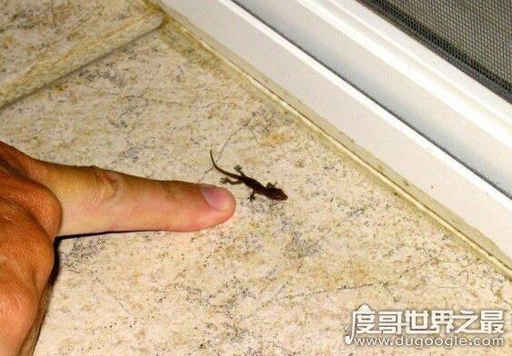 世界上最小的壁虎,雅拉瓜壁虎体长仅1.6厘米
