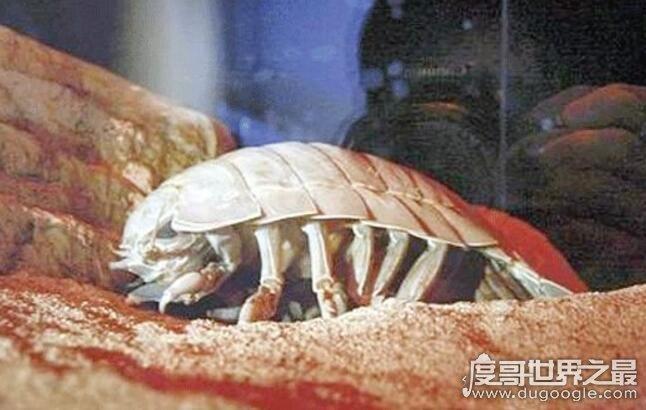 绝食时间最长的动物,大王具足虫(5年43天不吃不喝而死